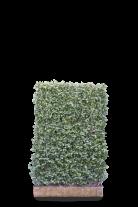 Mobilane Euonymus Dart's Blanket 120 x 100 cm
